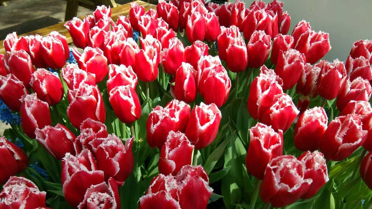 荷兰v季节,荷兰的郁金香季节和库肯霍夫(Keuke大全警攻略红图片